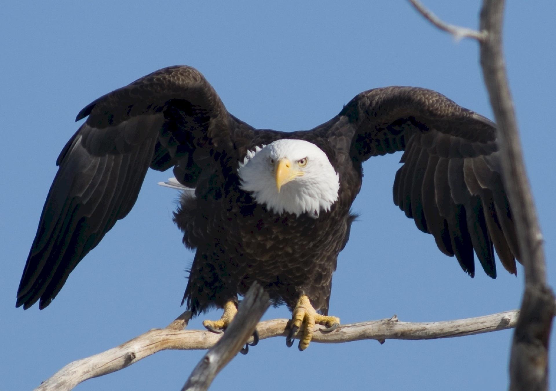 bald-eagle-936690