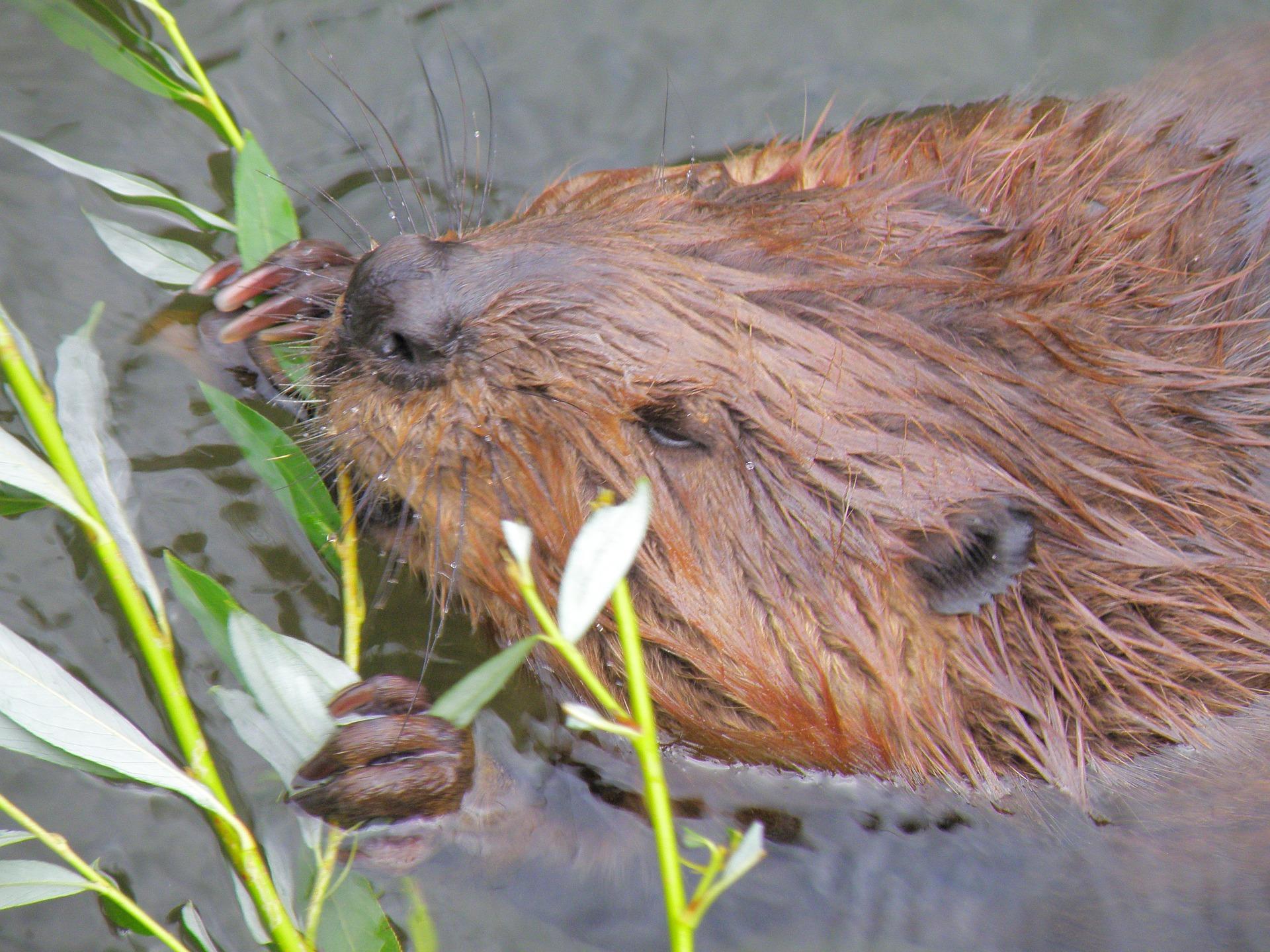 beaver-979851_1920