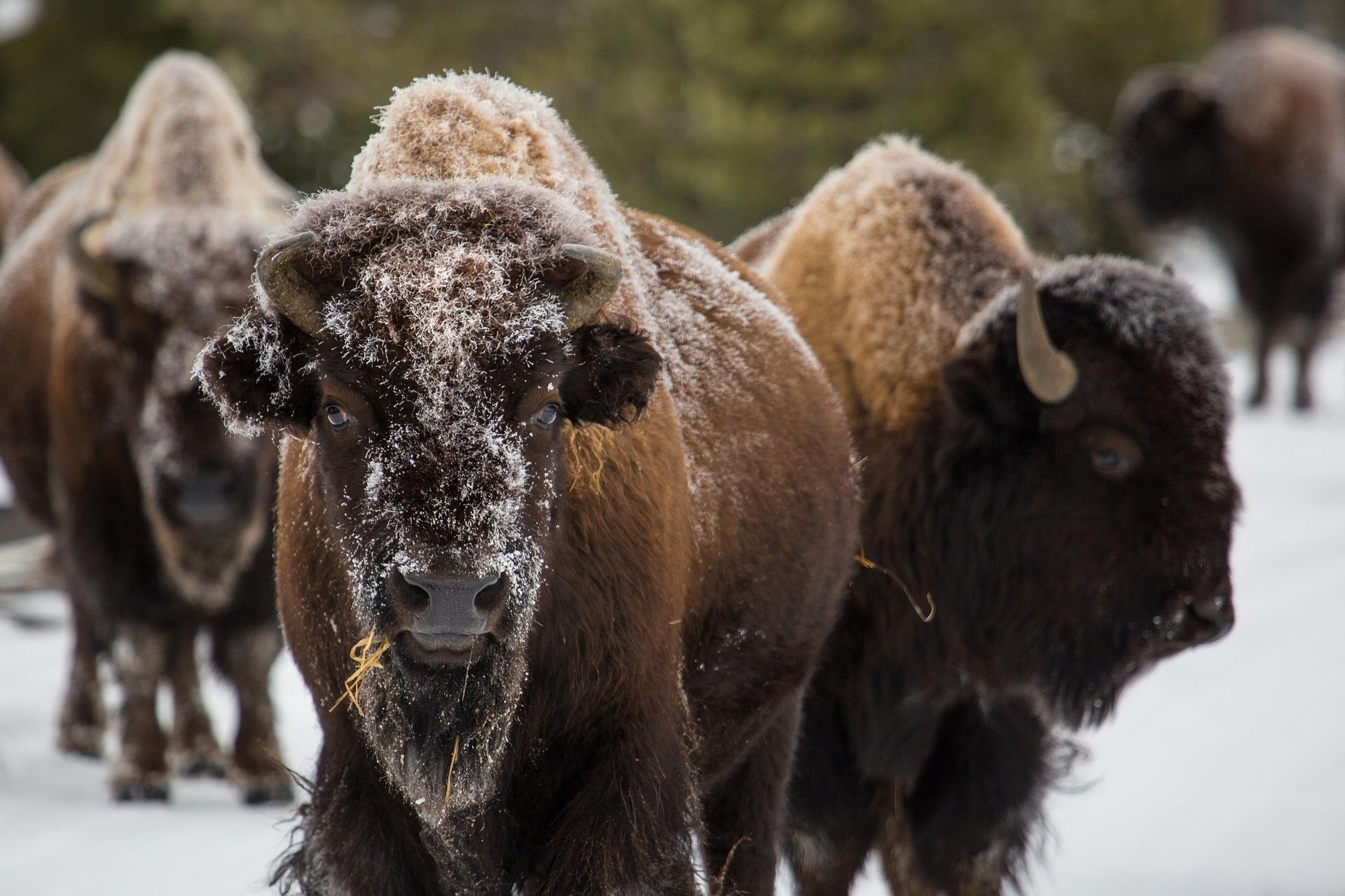 bison-1128821_1920