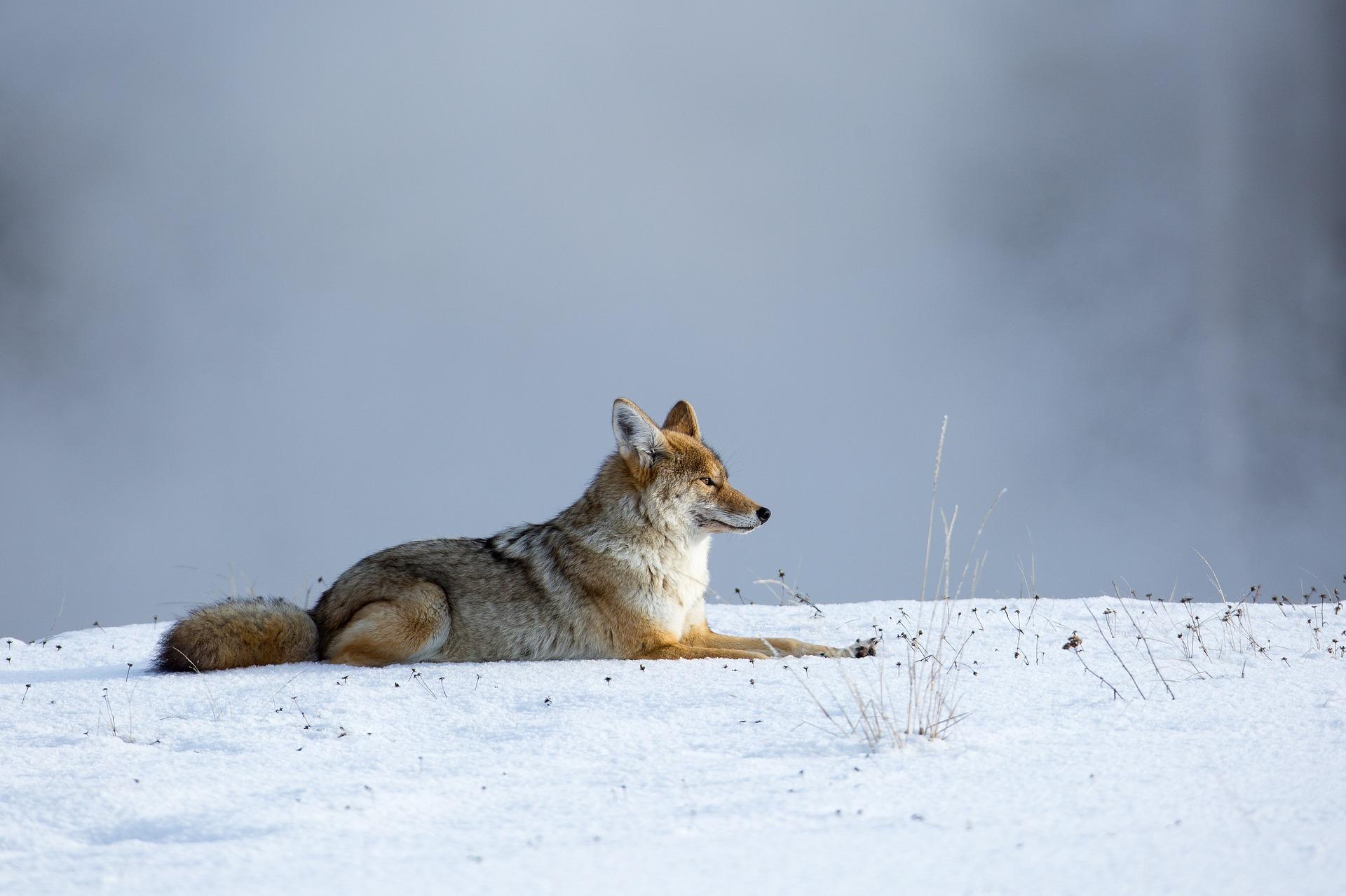 coyote-1143632_1920