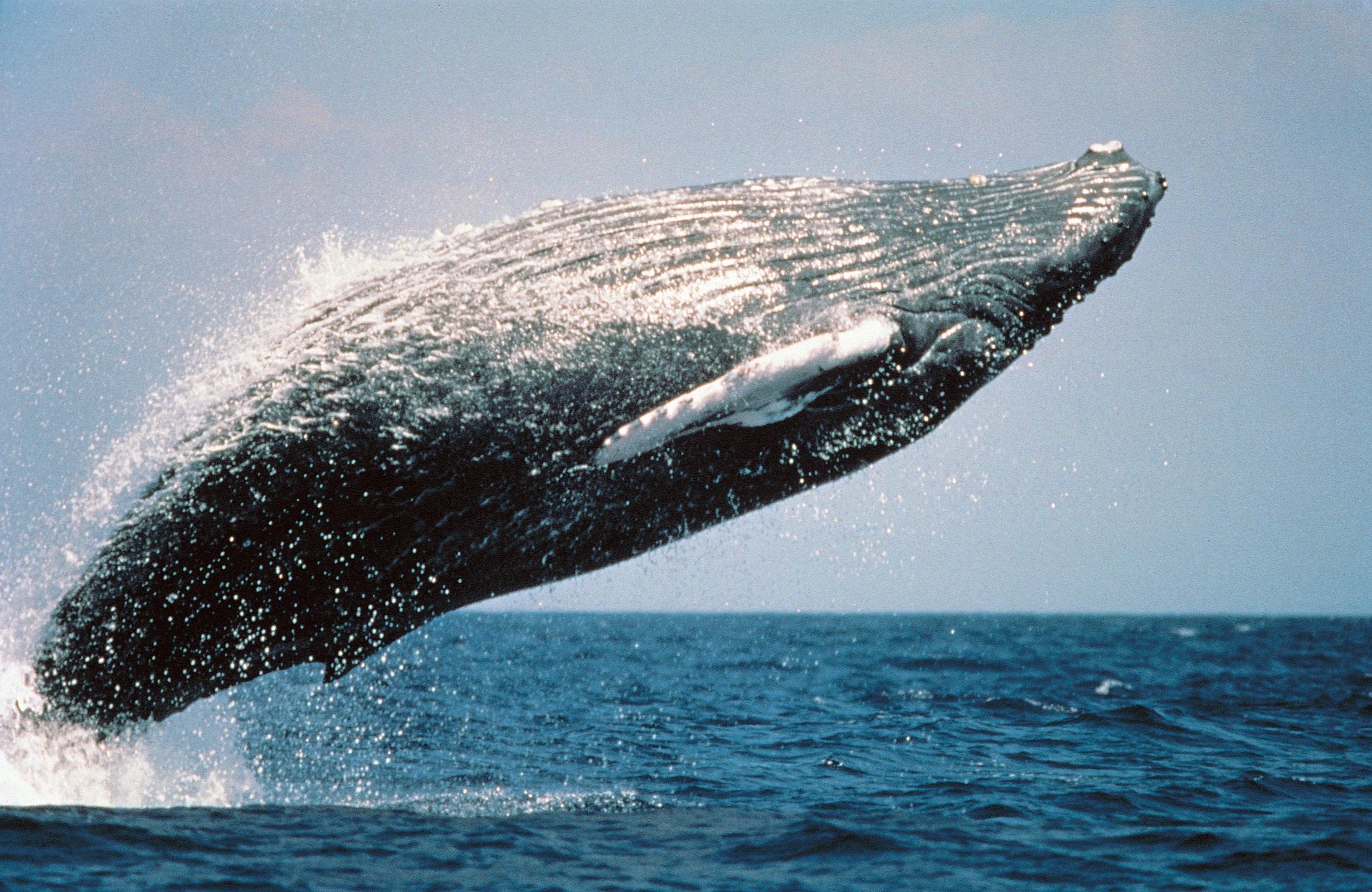 humpback-whale-591126