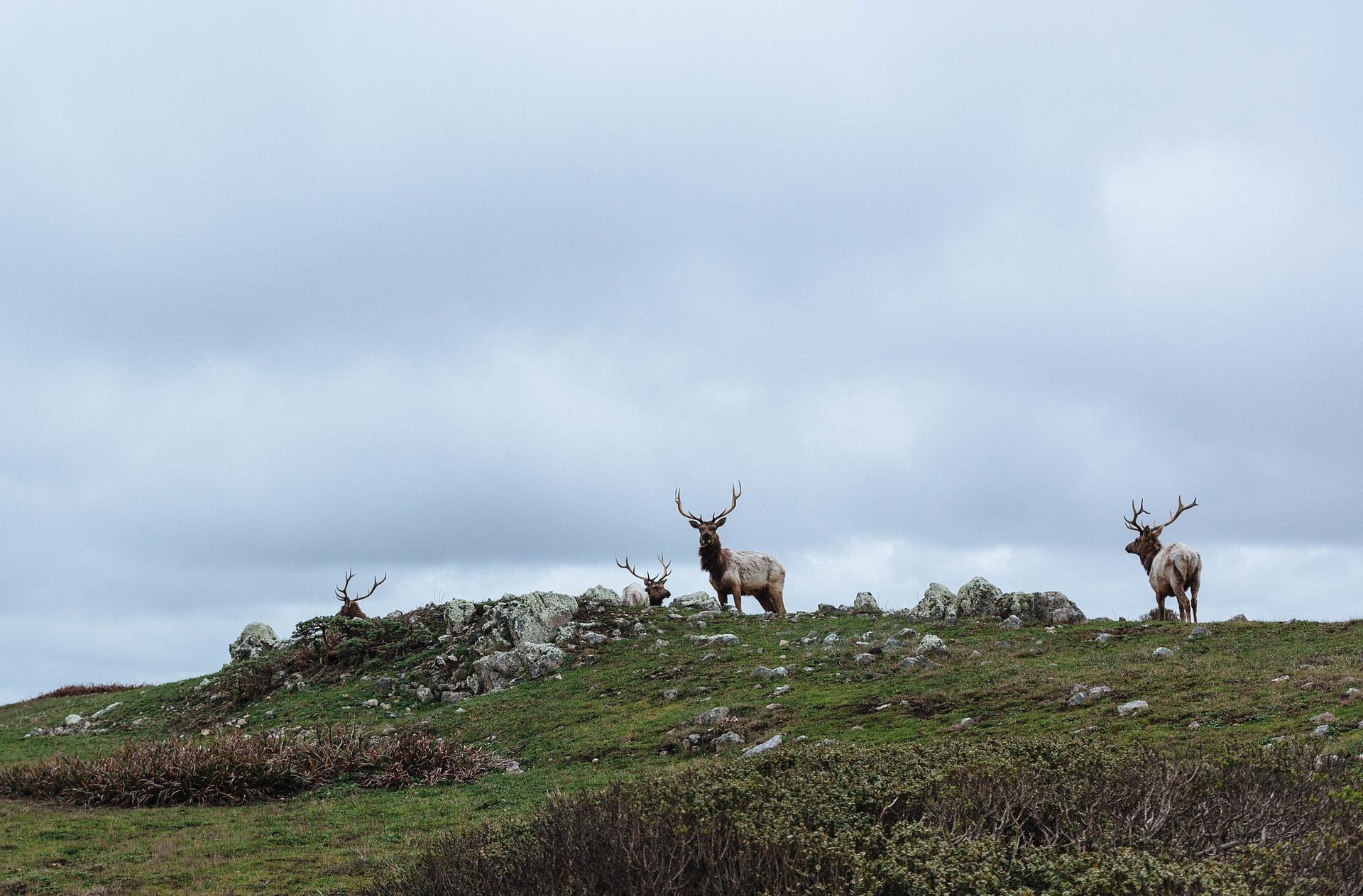 reindeer-1209961_1920
