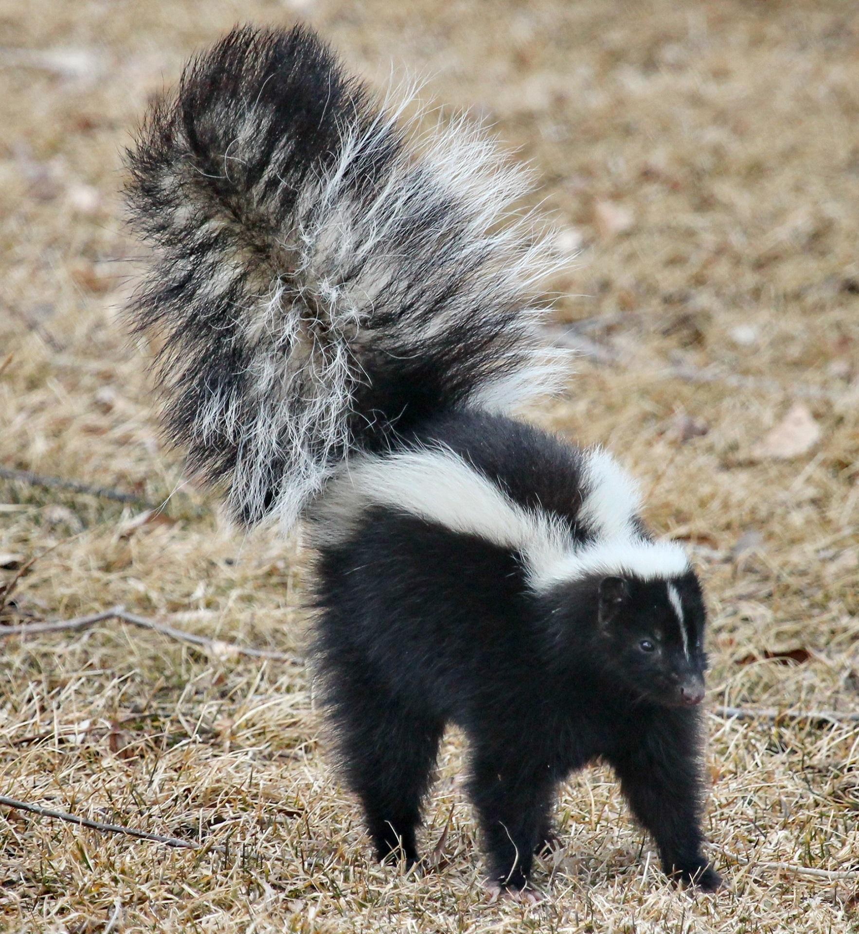 skunk-1239764