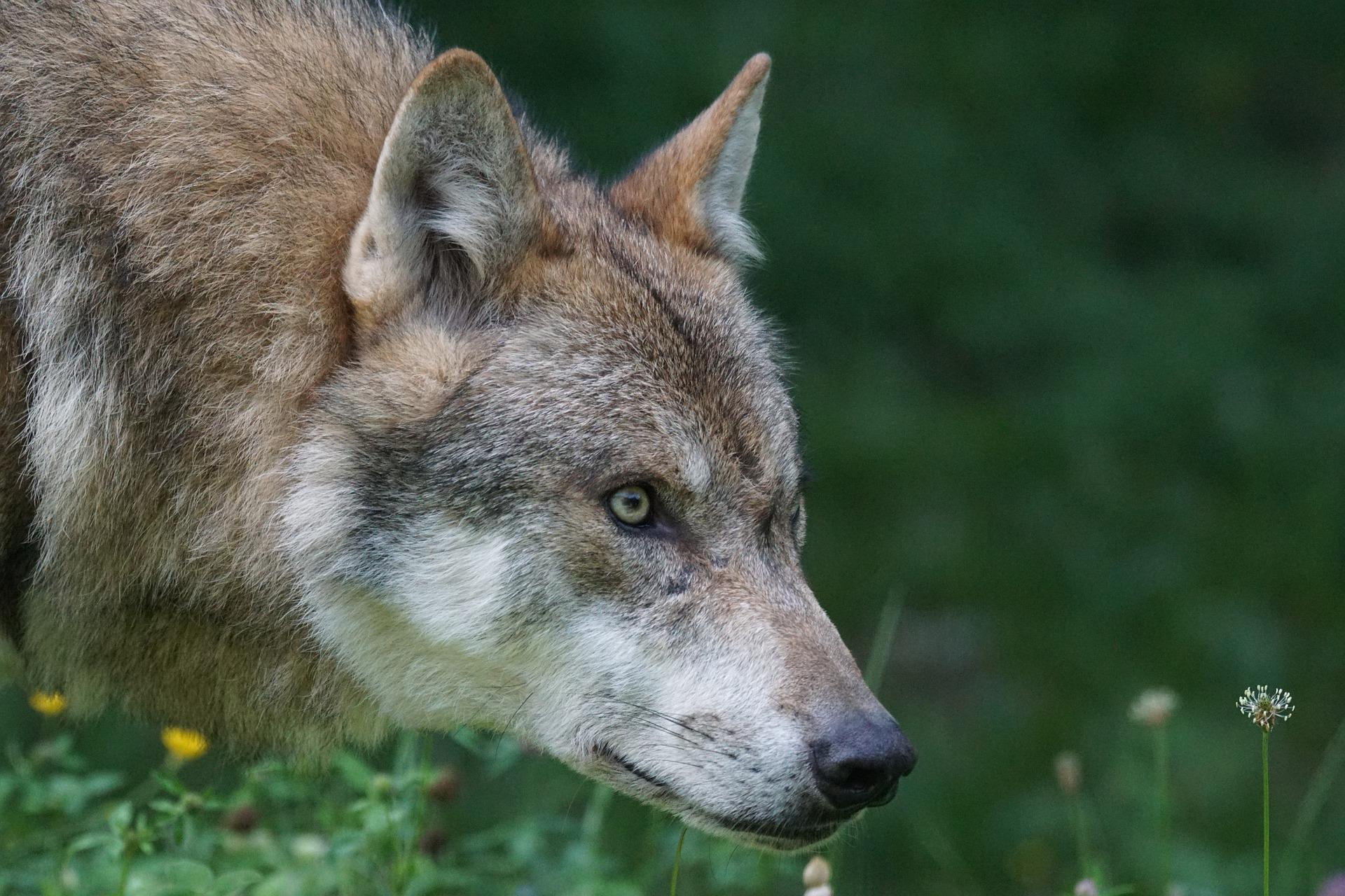 wolf-1583199_1920