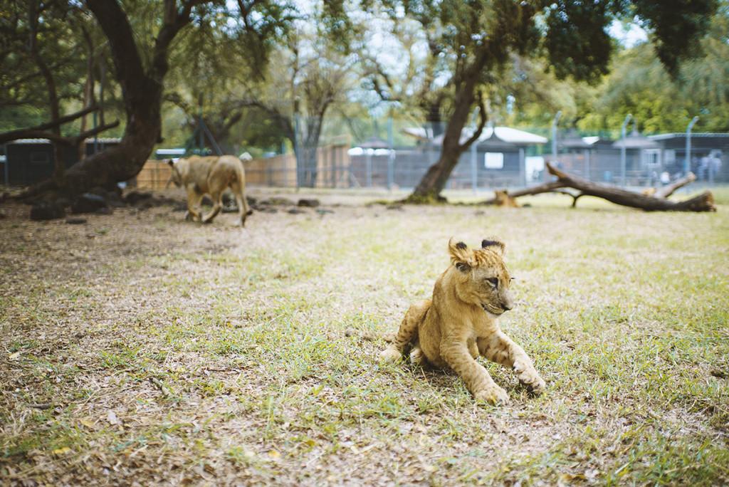 lion-baby