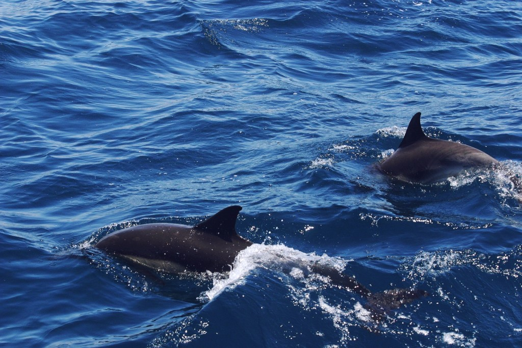 dolphin-682838_1920